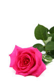 Pink rose on a white background. Stock Images