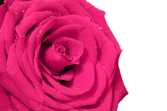 Pink rose with white background Royalty Free Stock Photography