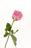 Pink Rose on White Background Stock Photo