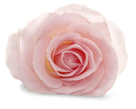 Pink rose on a white background with a soft shadow Royalty Free Stock Images