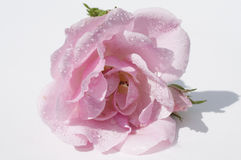 Pink rose on white background with water drops. Pink rose on white background with water droplets Royalty Free Stock Photography