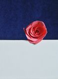 Pink rose on white and blue background Stock Photos