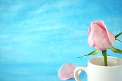 Pink rose in a white ceramic jug. On blue background. Copy space Royalty Free Stock Photography