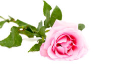 Pink rose on white surface Royalty Free Stock Photos