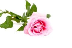 Pink rose on white surface