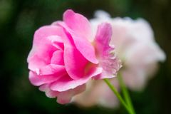 A Pink Rose that Will Bloom Soon. The pink rose flower seem will blossom on several minute again stock photo