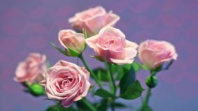 Pink rose in the wind with blurry shining backgrou Royalty Free Stock Photo