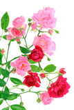 Pink Rose With Leafs. Royalty Free Stock Image
