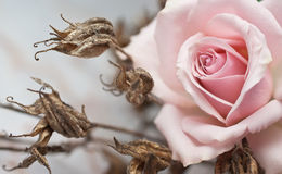 Pink rose and withered plant Stock Photography