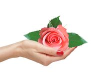 Pink rose in woman hand Royalty Free Stock Image