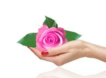 Pink rose in woman hand on white Royalty Free Stock Images