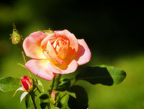 Pink rose with yellow nuances on blurred background Stock Photography