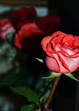 A pink rose for you Royalty Free Stock Photos