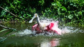 Roseate Spoonbill bathing in lake. Pink Roseate Spoonbill bathing in a lake. Shaking motion showing off water droplets Stock Image