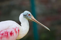 Pink Roseate Spoonbill bird. Side shot stock photo
