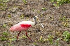 Roseate spoonbill - Platalea ajaja. Pink roseate spoonbill - Platalea ajaja - Costa Rica - Cano Negro Wildlife Refuge - Central America Stock Images