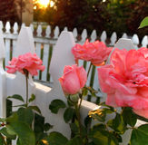 Pink Rosebud With Picket Fence Royalty Free Stock Photography