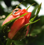 Rose bud with water drops. Pink rosebud with water drops stock photos