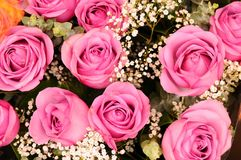 Pink rosebuds Royalty Free Stock Images