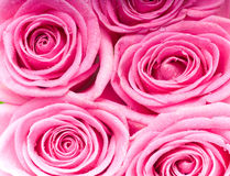 Pink roses. Beautiful abstract photo Stock Photo
