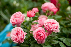 Pink roses. Close up of pink roses Stock Photography