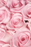Pink Roses. Beautiful pink roses background.Selective focus Royalty Free Stock Photos