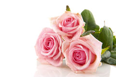 Pink roses. Three pink roses with water drops isolated over white Stock Photo