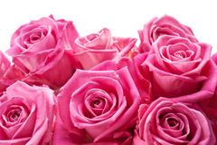 Pink roses. On white background, may be positioned on bottom of page stock photography