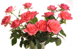 Pink Roses. Photograph of an arrangement of pink roses shot in studio against a white background Royalty Free Stock Images