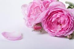Pink roses Stock Photos