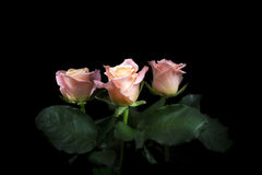 Pink roses. On the black background Stock Images