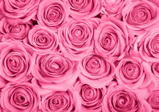 Free Pink Roses Royalty Free Stock Images - 22350759
