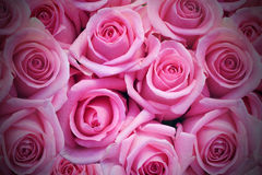 Pink roses. Background / backdrop of pink roses with dark vignette stock photo