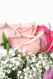 pink roses στοκ εικόνες