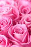 Pink roses Stock Photos