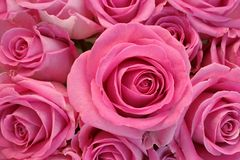 Pink roses. Pink rose flower bunch closeup Stock Image