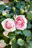 Pink roses. Close up of pink roses Royalty Free Stock Photography