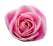 Pink roses Stock Photo