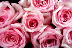 Pink Roses. Isolated on black Stock Photography