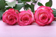 Free Pink Roses Stock Image - 4275281