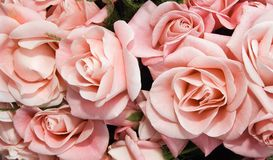 Pink roses. Holidays background from pink roses Stock Photo