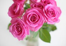 Pink roses. In close up Royalty Free Stock Image