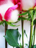 Pink roses. Macro Stock Images