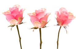 Pink roses. Isolated on white Stock Photography
