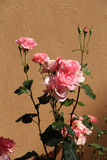 Pink roses against brown wall Stock Photography