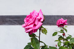 Pink roses against a white house wall Stock Photos