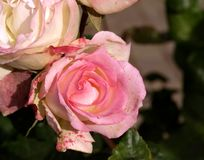Pink roses from Argentina Stock Image