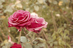 Pink roses in autumn garden. Two rose flowers dying in fall, a lot of space for text. Selective focus. Vintage color royalty free stock images