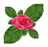 Pink roses background. Pink roses isolated on a white background Stock Photography