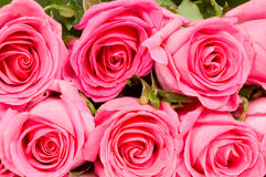 Pink roses background. Colorful pink roses used as background royalty free stock image